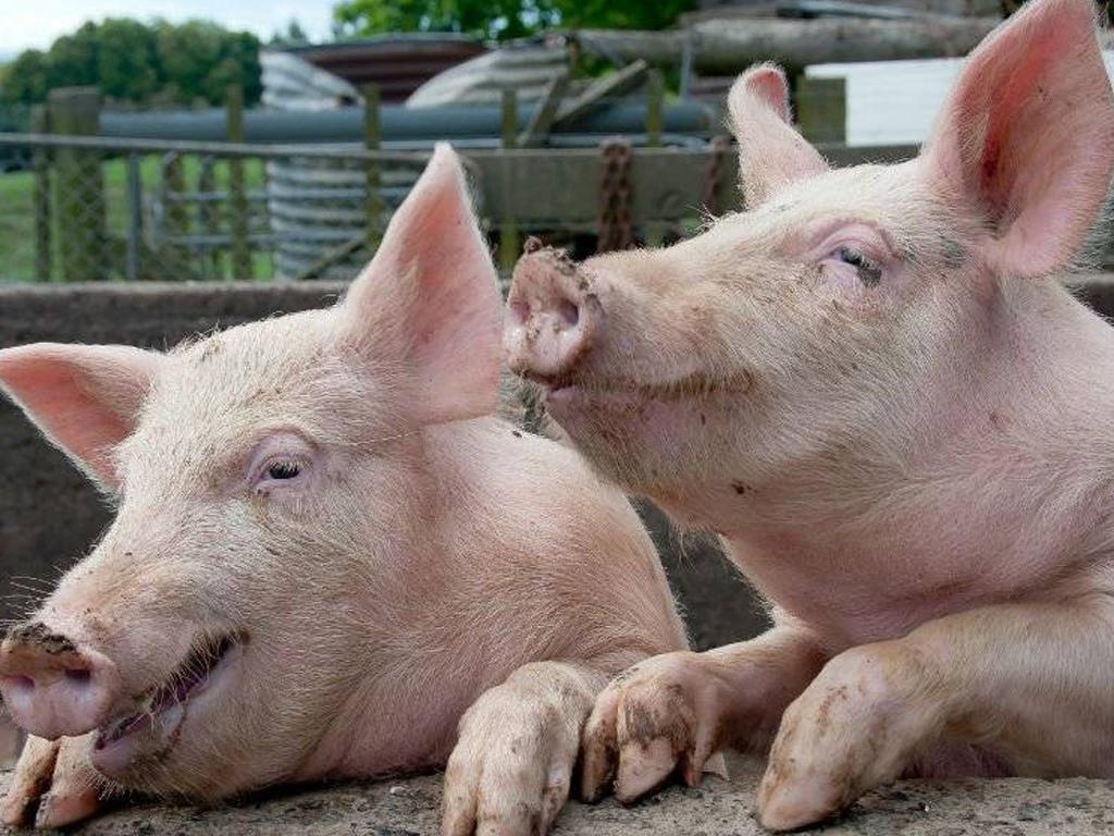 фото какого цвета бывают свинья первую очередь